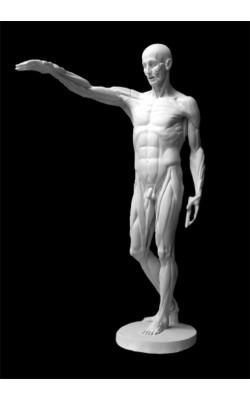 Фигура экорше Гудона, гипс